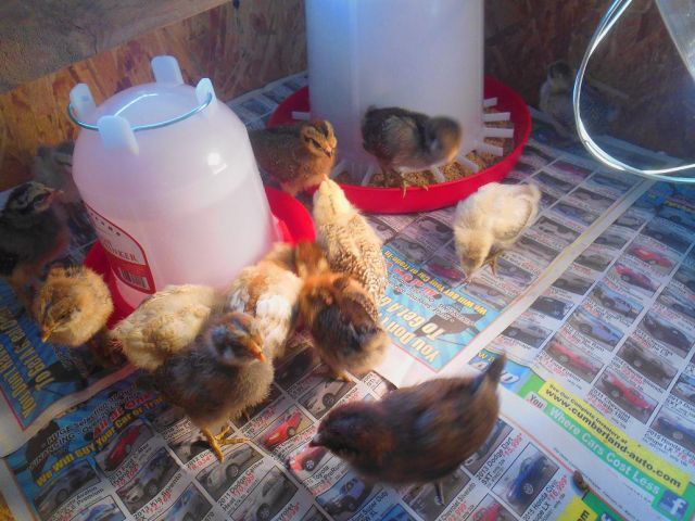 Chick Brooder April 13 16